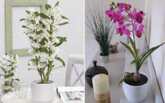 Orquídea Bambu– Como Plantar Em Vaso e Fazer Muda