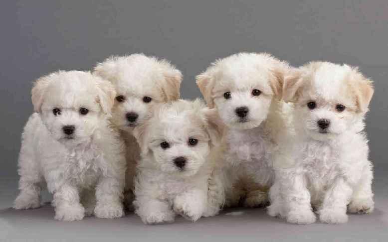 Cachorro Bichon Frisé – Características e Como Tratar