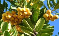 Fruta Abricó – Benefícios e Receita