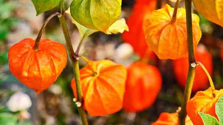 Ginseng Indiano – Benefícios