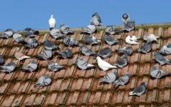 Pombos de Casa – Doenças Transmitidas e Como Afastar