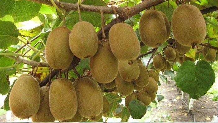 Fruta Cupuaçu - Benefícios