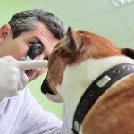Terçol Em Cachorro – Sintomas e Tratamento Caseiro