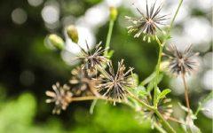 Picão Preto – Benefícios e Como Usar