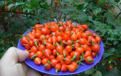 Pimenta Biquinho – Benefícios