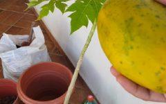 Mamão No Vaso – Como Plantar
