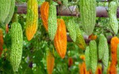 Melão de São Caetano – Benefícios e Como Usar