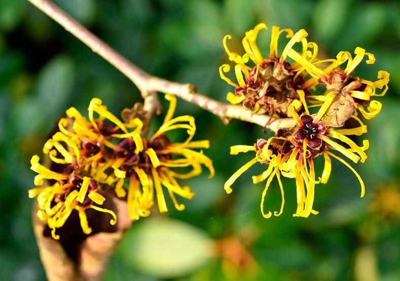 Planta Hamamélis –Benefícios e Como Usar