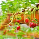 Cultivar Morangos Em Casa – Dicas