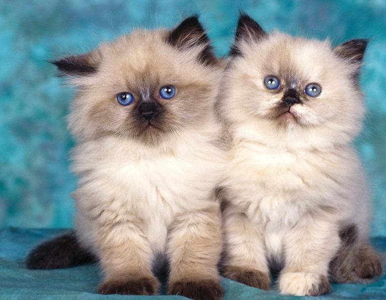 Gato Persa - Características