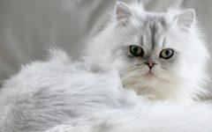Gato Persa – Características