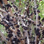 Fruta Jabuticaba – Benefícios e Como Consumir