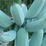 Blue Java a Banana Azul – Características