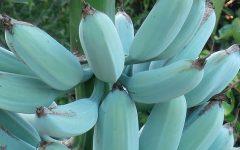 Blue Java a Banana Azul –Características