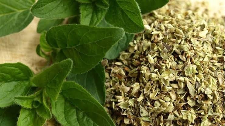 Erva Orégano – Benefícios